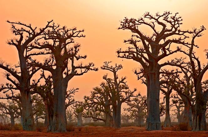 Crépuscule des baobabs
